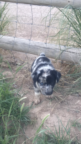 Border Collie Australian Shepherd Puppies Australian Shepherd