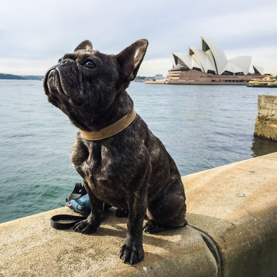 French Bulldog At The Sydney Opera House Brindle French Bulldog French Bulldog Puppies Bulldog