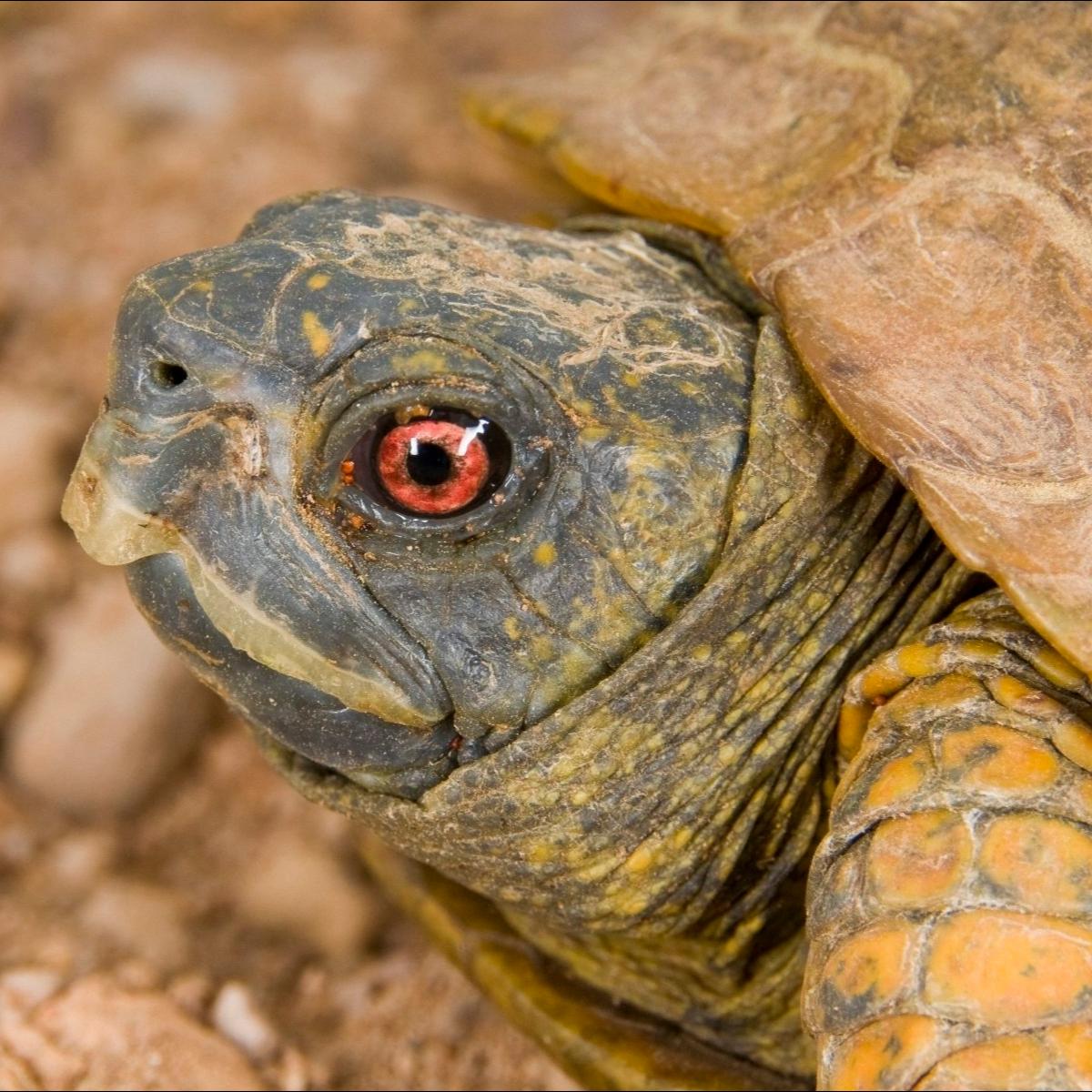 Desert Box Turtle Box Turtle Turtle Pet Turtle