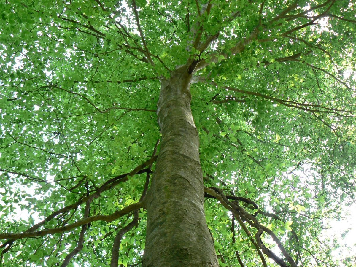 American_Beech   Trees/Tree Motifs   Pinterest