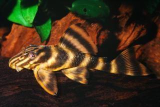 Sp Gold Tiger Pleco Lda001 L169 Pleco Fish Fish Supplies Freshwater Aquarium Fish