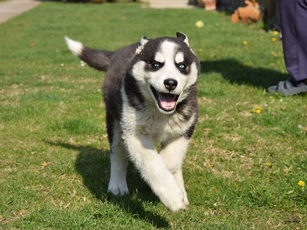 Siberian Husky Puppies For Sale Find A Siberian Husky Dog Or Puppy Siberian Husky Puppies Husky Puppy Siberian Husky