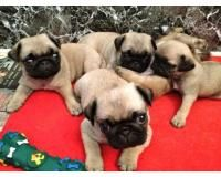 Pug Puppies For Sale Kanpur Jobsblast Free Online Classified
