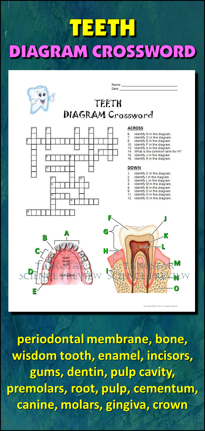 Teeth crossword with diagram editable student learning help students learn and remember the parts of the tooth the types of teeth using this ccuart Image collections