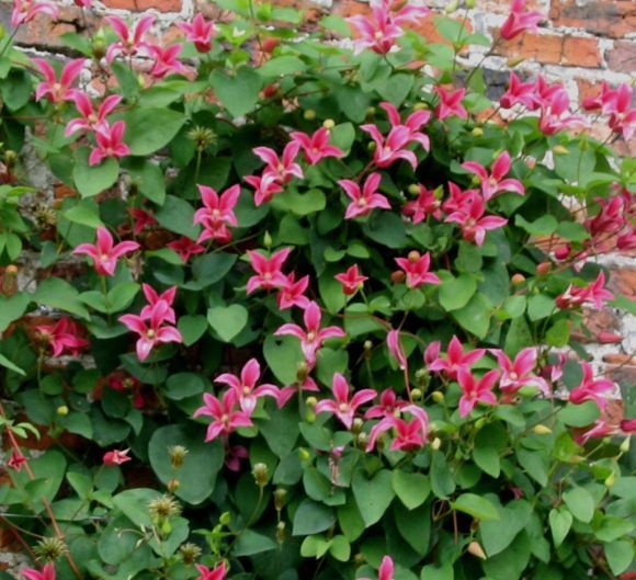 clematis texensis 39 princess diana 39 has lovely trumpet. Black Bedroom Furniture Sets. Home Design Ideas