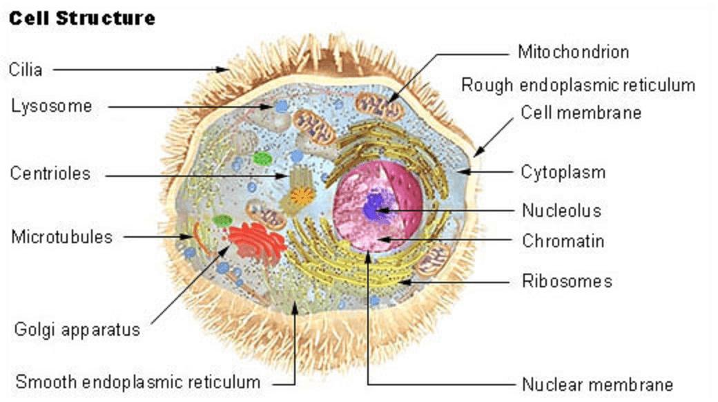 Célula humana y sus misterios