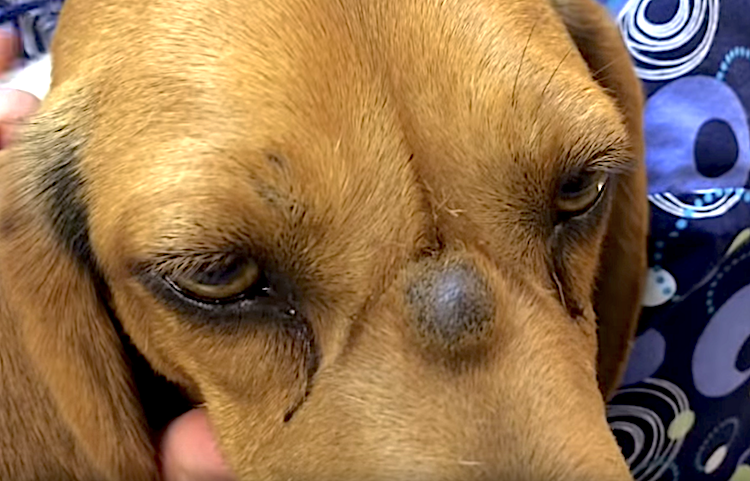 Pictures Of Tumors In Dogs Nose