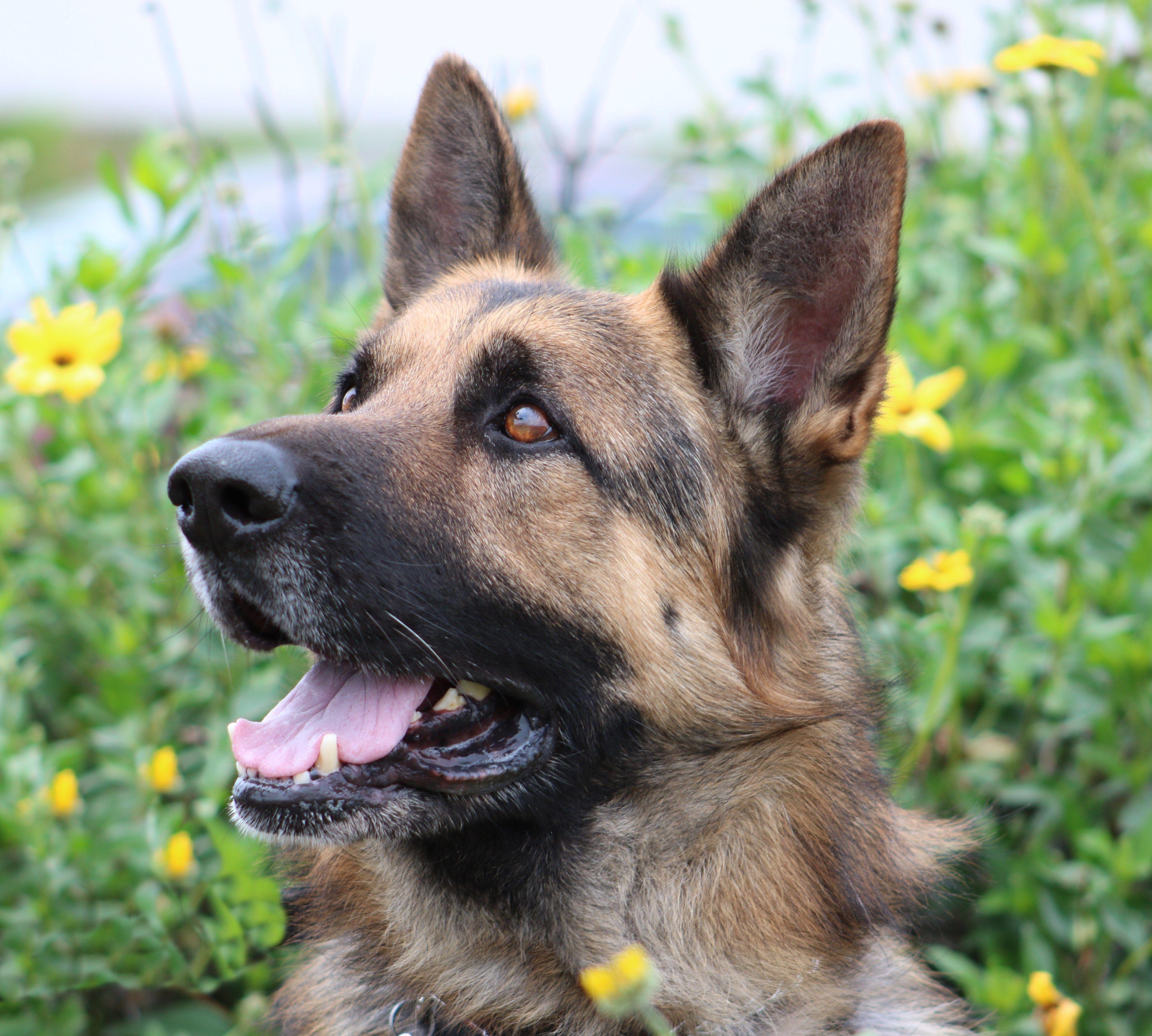 German Shepherd Dog dog for Adoption in San Diego, CA. ADN