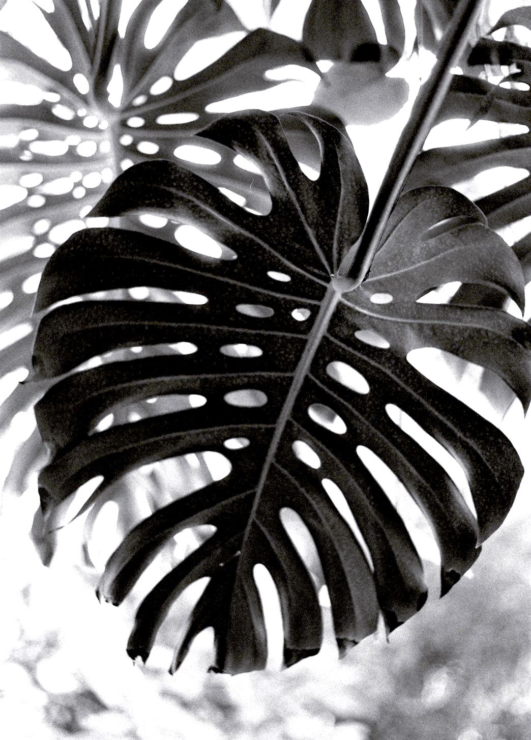 black & white | Patternful | Pinterest | Monstera ...