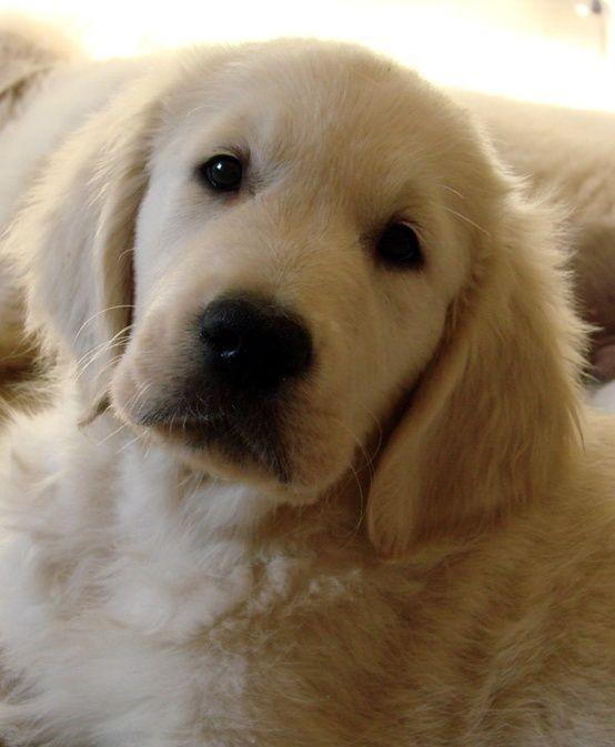 Golden Retriever puppy, Scoopy