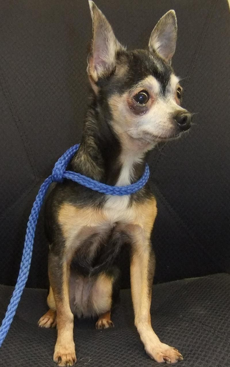 Adopt Thumbalina on Chihuahua dogs, Dogs, Pets
