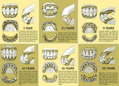 Horse Teeth and Age #Horsemastership #glenlyon pony club.