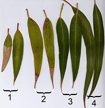 gum tree leaves Google Search Plant leaves, Tree leaves