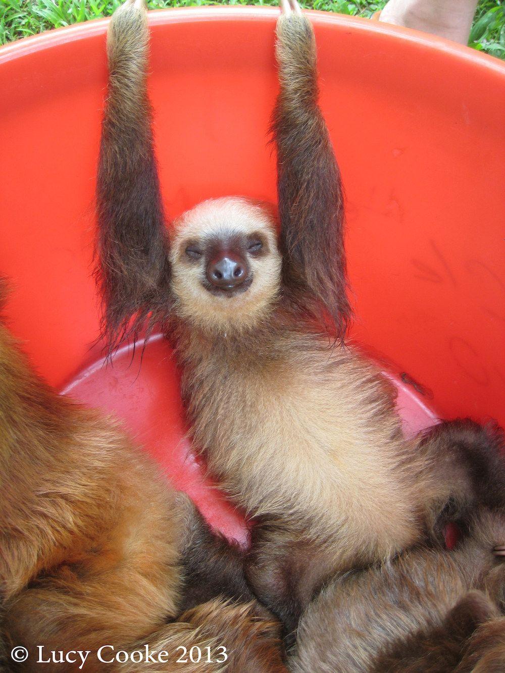Dozy sloths. Cute sloth, Sloth, Baby sloth