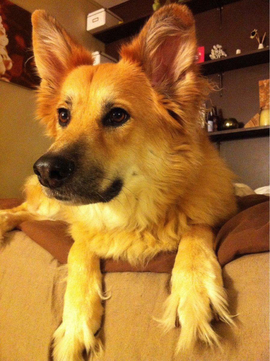 My German Shepard Golden Retriever Mix Golden Retriever Mischling Golden Retriever Und Hunde