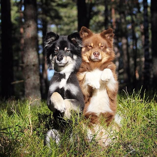 Lapphunds Funny Animals Natural Dog Tiny Dogs