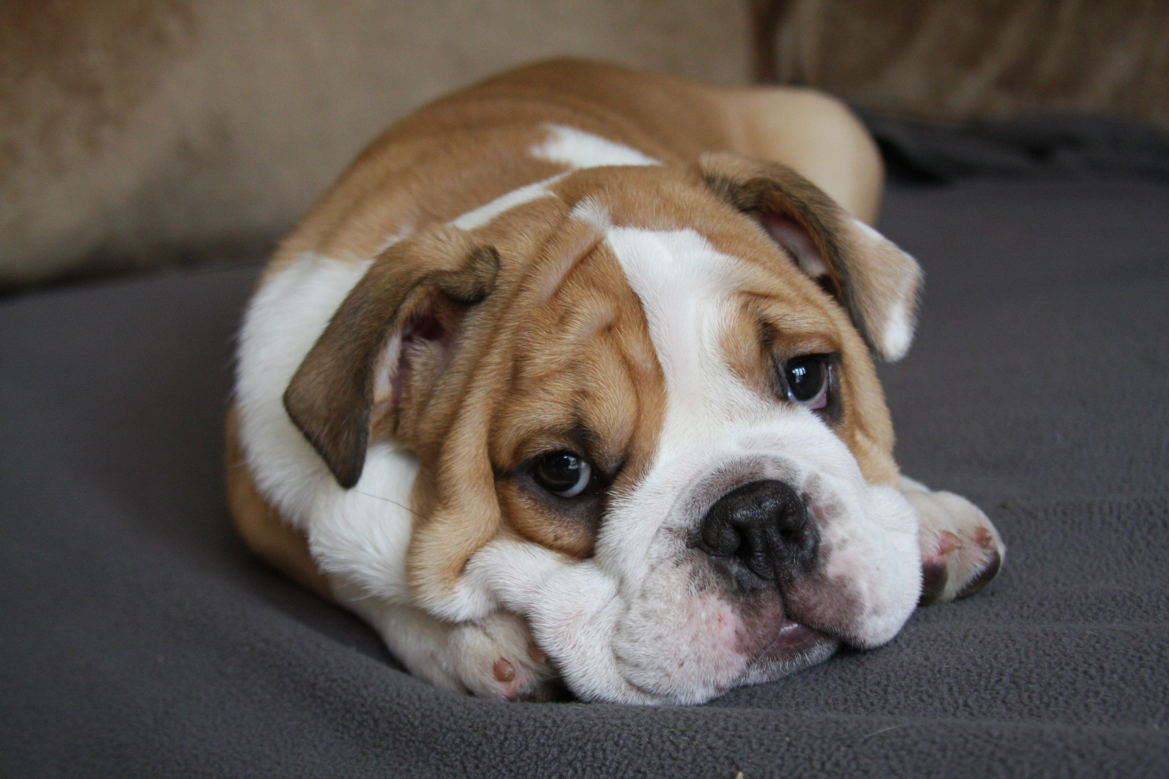 Dog Grooming Tip 2 Dogs Like Bulldogs That Have Loose Folded