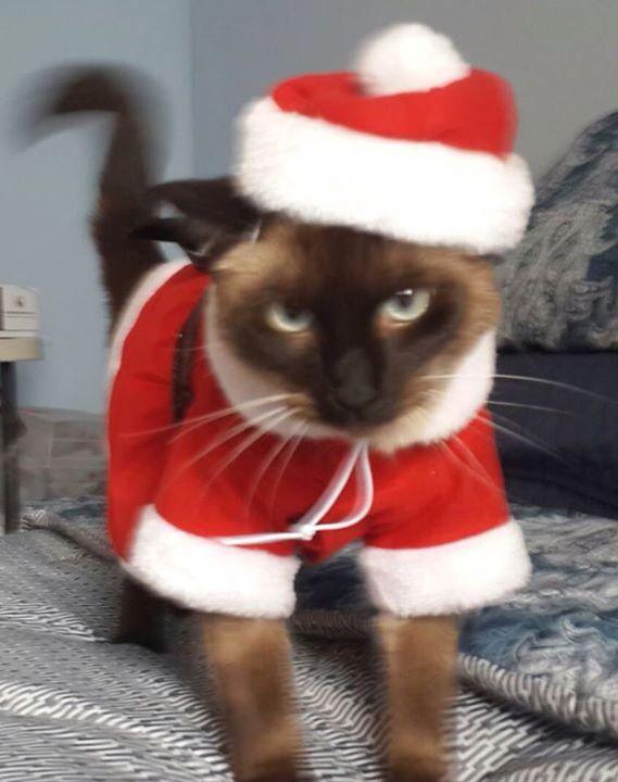 Chritsmas cat