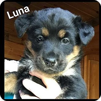 Mooresville Nc Border Collie Mix Meet Luna A Puppy For Adoption Http Www Adoptapet Com Pet 16784792 Mooresville Nor Pets Puppy Adoption Kitten Adoption