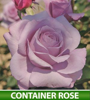 I have a serious love of Rose Bushes. It started as a child. I would get rose bushes b/c my birthday is in bare root season. Now, it's just a lust. This is rose has the most amazing smell. Wish I could share it.