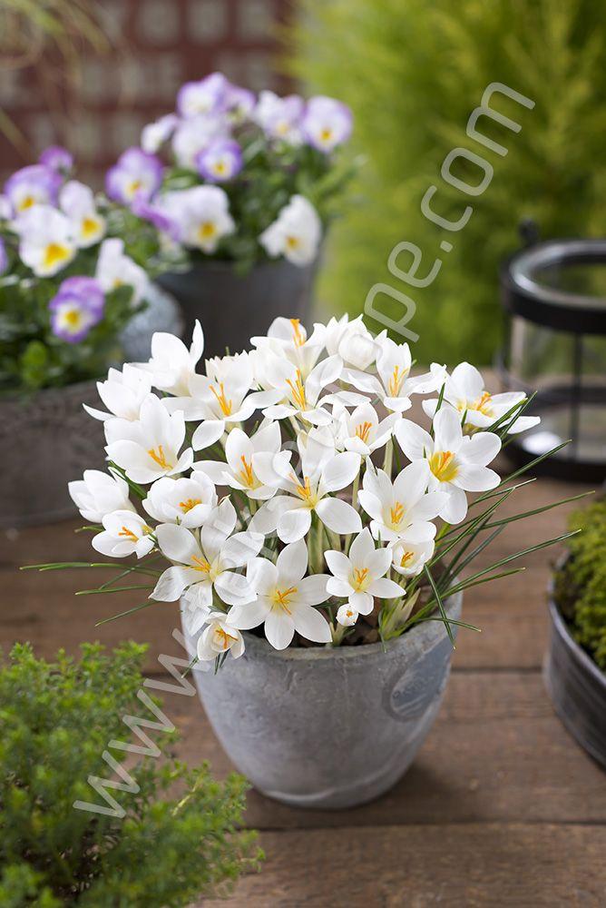 Krokusy To Jeden Ze Zwiastunow Wiosny Czesto Spotykamy Je W Doniczkowych Kompozycjach Kwiatowych Na Zdjeciu Pelen Uroku Krokus Zlocisty Plants