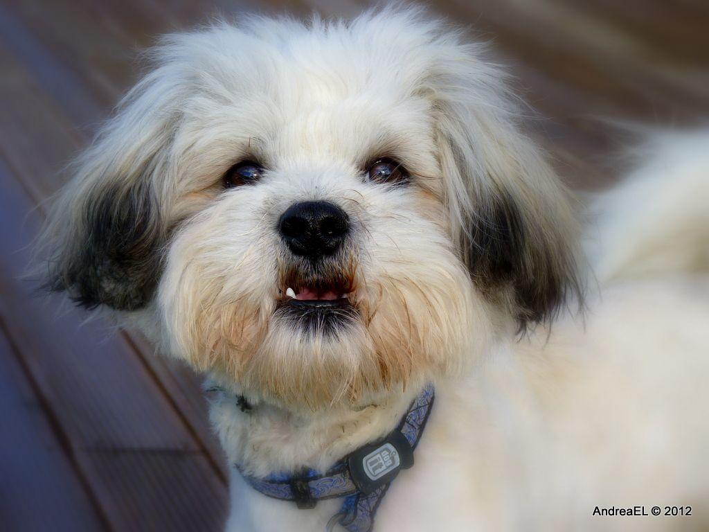 Can I Say Something Shih Tzu Bichon Nz Teddy Bear Puppies