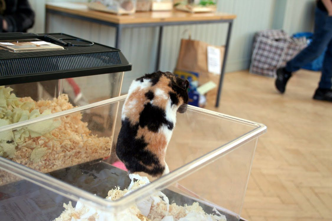 Karkulainen With Images Syrian Hamster Hamster Tortie