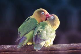 Inseparable Bird Stock Photo