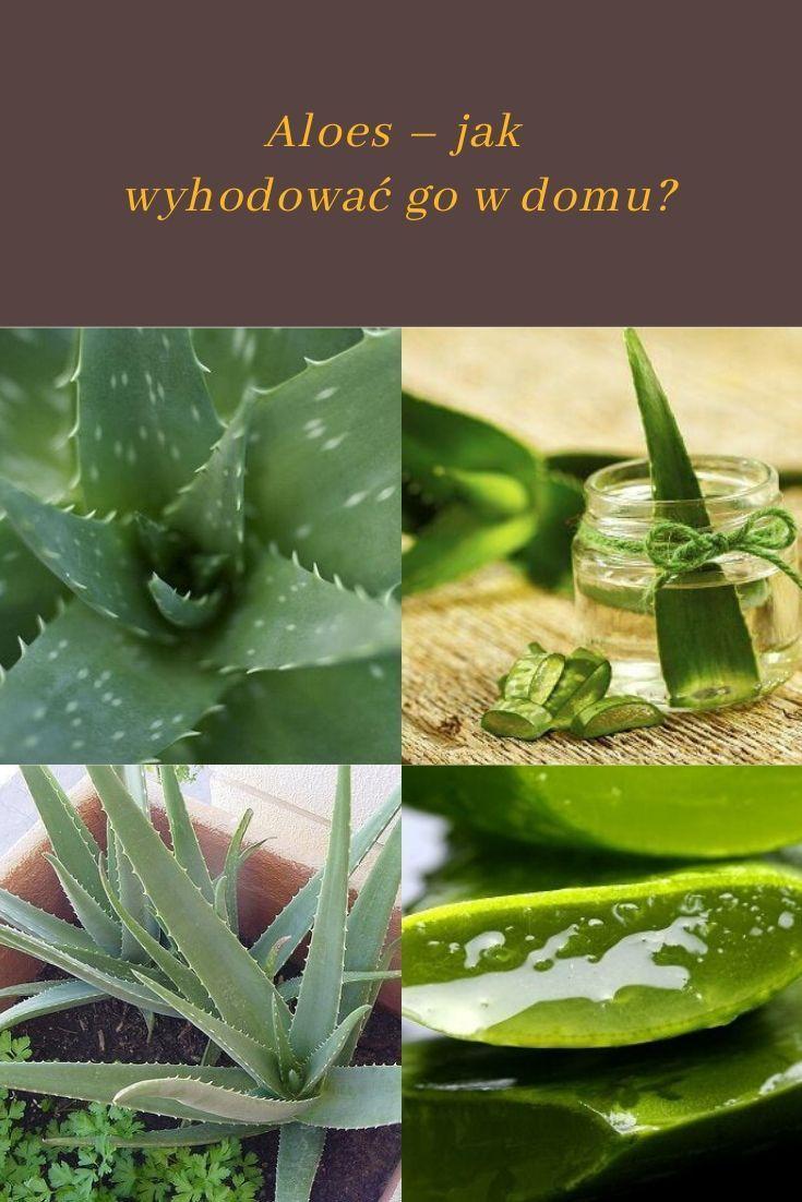 Aloes Jak Wyhodowac Go W Domu Krok Do Zdrowia Herbs Aloe Plants