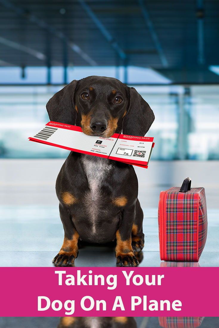 Can I Take My Dog On a Plane? Dog Activities Dogs on