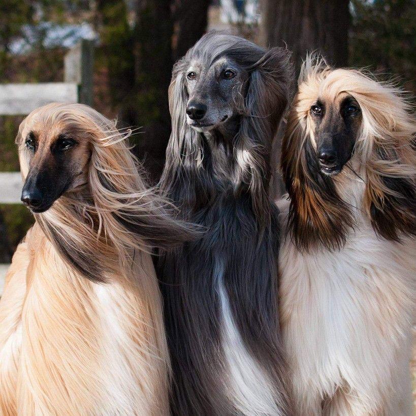 Pin Von Sabine Auf Afghanen Hunde Windhund Windhunde