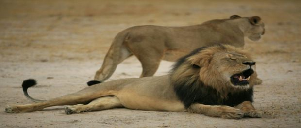 Twin Cities dentist admits killing beloved lion, thought he was acting legally  For more info visit www.a360news.com