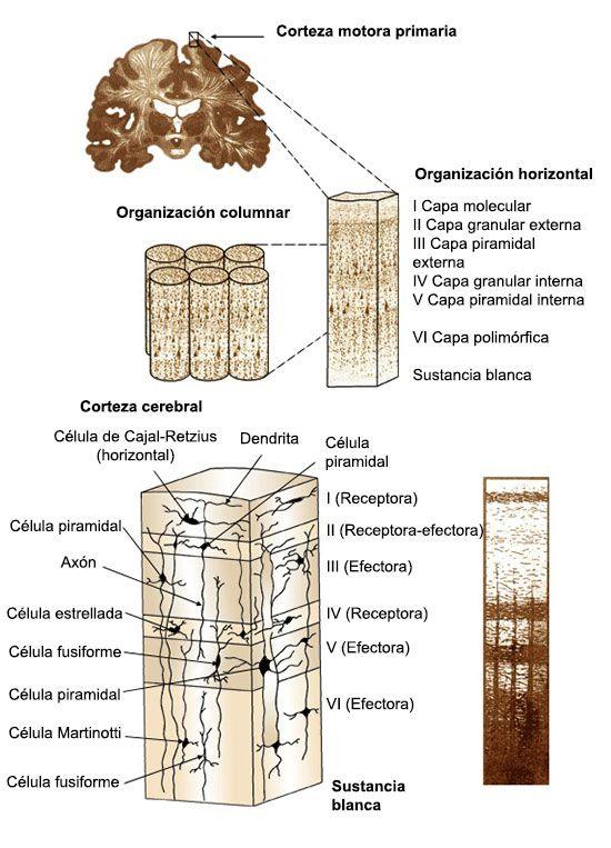 La corteza cerebral: morfología, histología y localización funcional ...