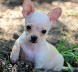 Gramatic And Adorable Small Cream Chihuahua Chihuahua Puppies
