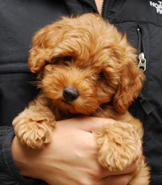 Past Labradoodle Litters Manor Lake Australian Labradoodles Labradoodle Labradoodle Puppy Australian Labradoodle Puppies