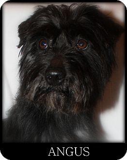 New Jersey Nj Schnauzer Miniature Mix Meet Bordentown Nj Angus A Dog For Adoption Http Www Dog Adoption Miniature Schnauzer Puppies Schnauzer Dogs