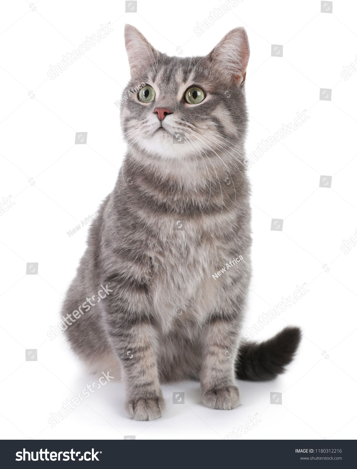 Portrait Of Gray Tabby Cat On White Background Lovely Pettabby Cat Portrait Gray Grey Tabby Cats Tabby Cat Silver Tabby Cat