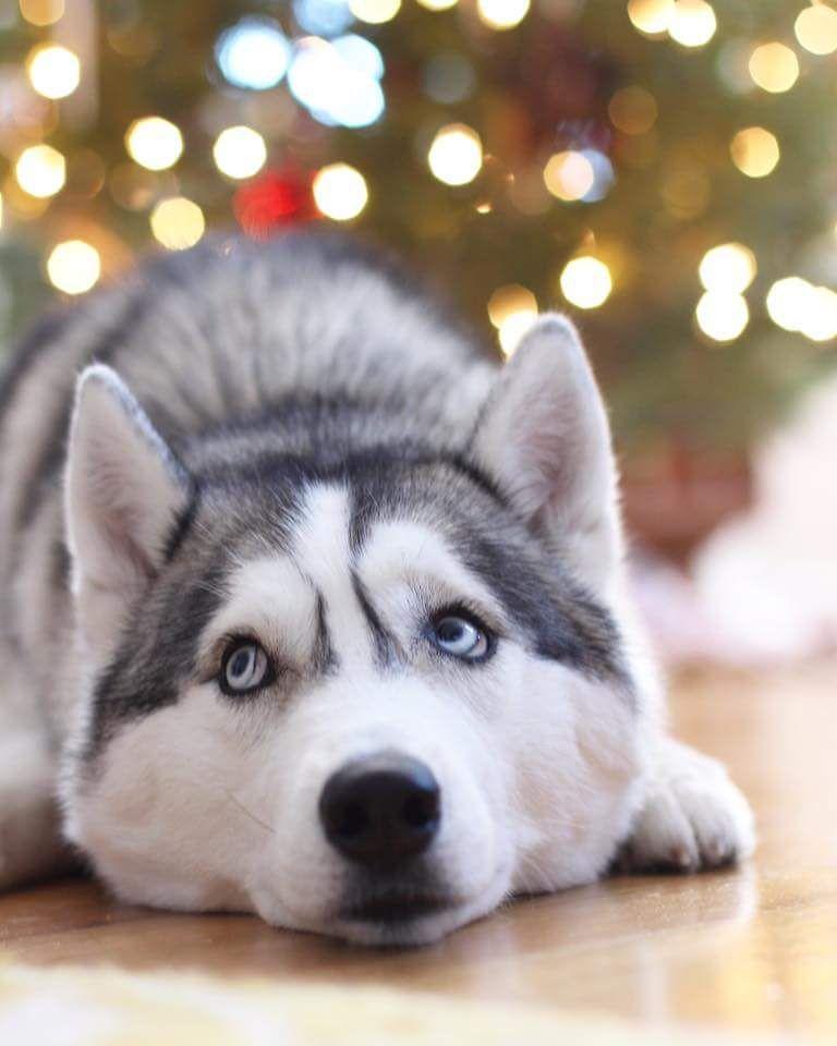 Merry Christmas Via Willow Husky Bear On Instagram Perro Siberiano Perro Husky Husky Siberiano