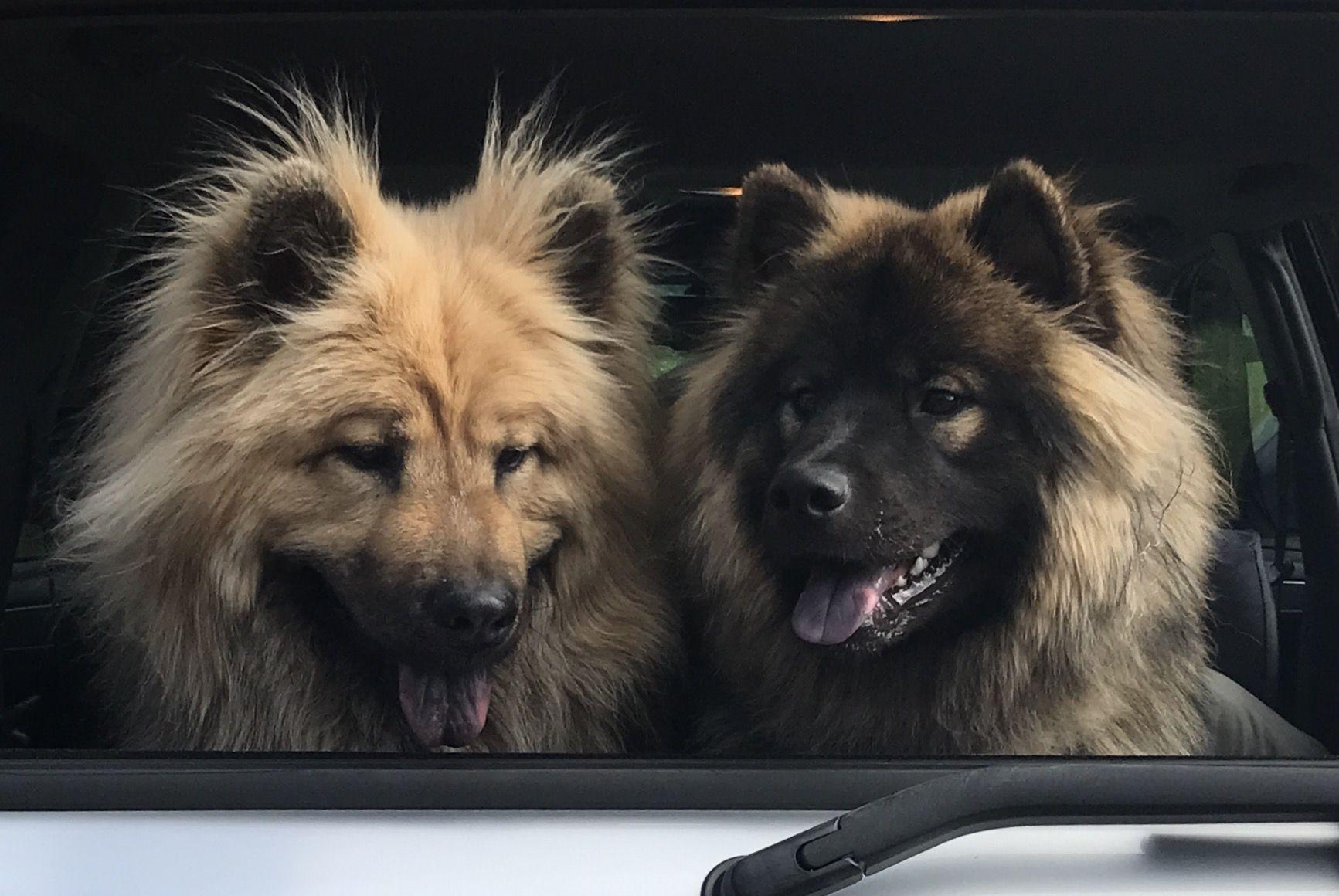 Eurasier Dogs Eurasier Hunde Begleithund