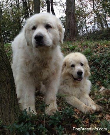 Great Pyrenees Dogs Tundra Left At 10 1 2 Years Old And Tacoma