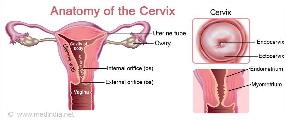 Anatomy of the female cervix - www.anatomynote.com   Anatomy note ...