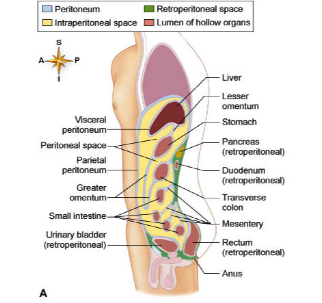 hight resolution of abdominal diagram organs