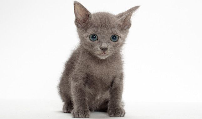 Russian Blue Nebelung Cat Breed Information Russian Blue Cute Cats Nebelung Cat
