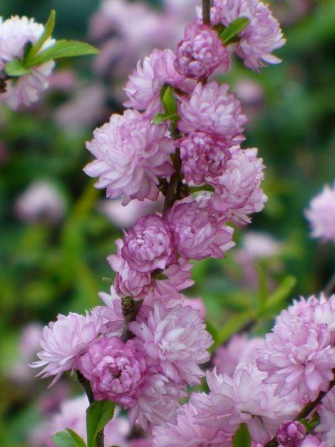 Dwarf double pink flowering almondprunus glandulosa flore plena dwarf double pink flowering almondprunus glandulosa flore plena almost eden mightylinksfo Images