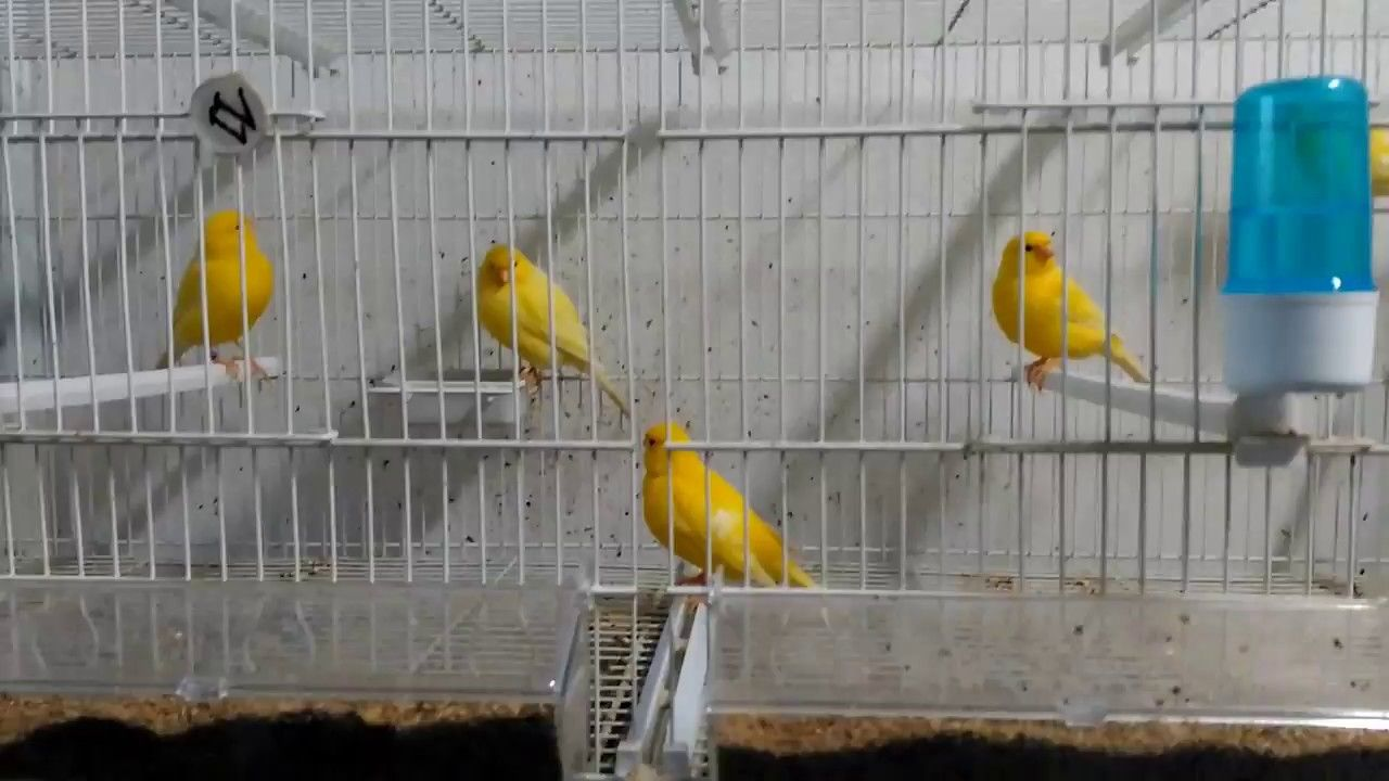 La cria de canarios( iluminacion en la pretemporeda de crias)