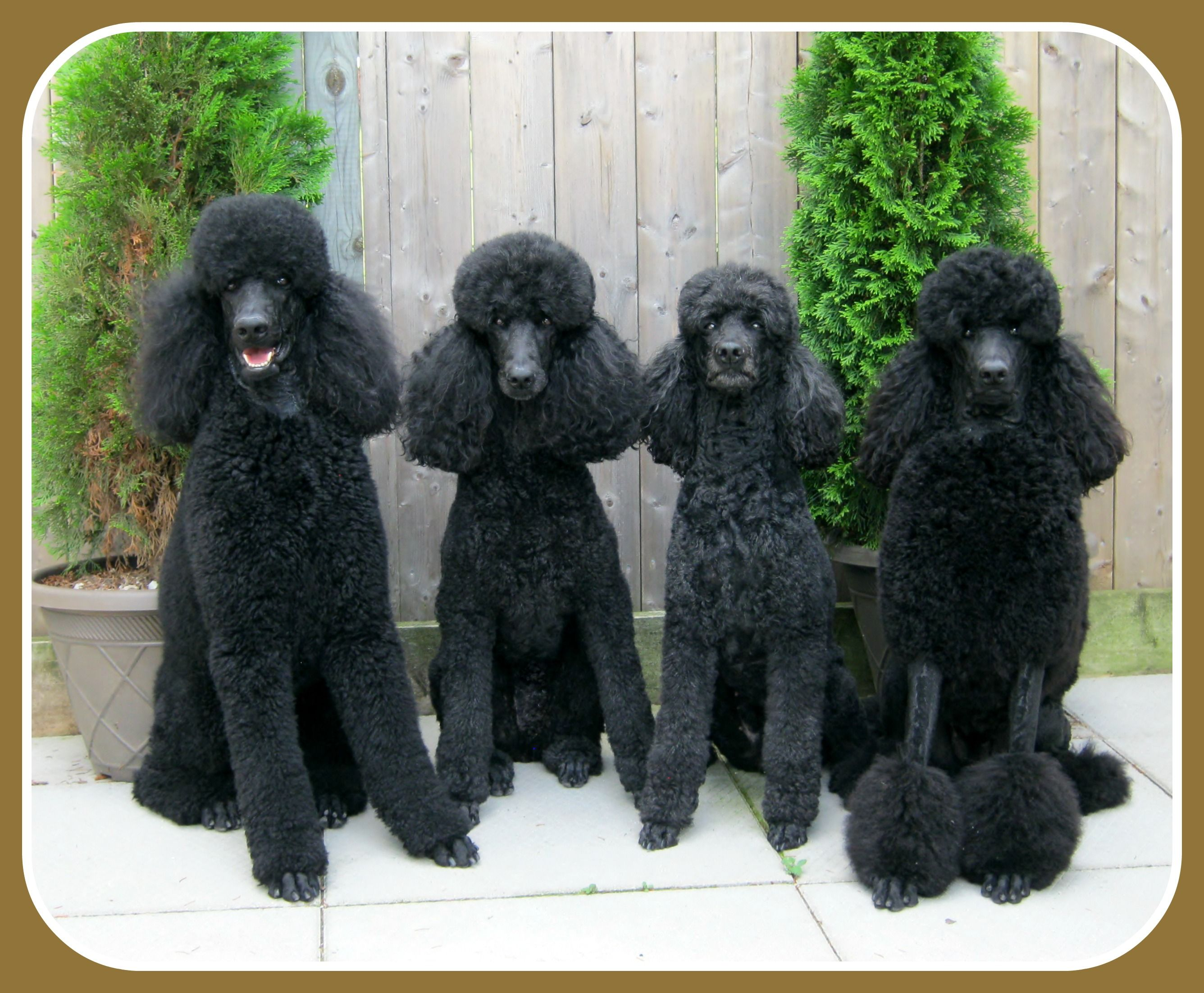 Three Generations Of Beaucaniche Standard Poodles Standard