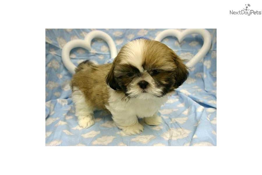 Shih Tzu Puppy For Sale Near New York City New York 860a496b