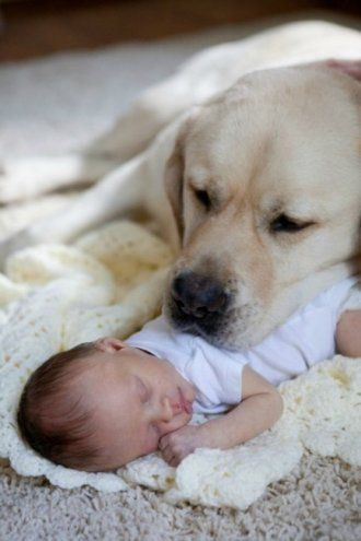 Golden Retriever Protecting A New Born Baby Pets