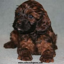 Red Apricot Merle Sable Parti Tri Colored Cockapoo Puppies Cute Cockapoos Cockapoo Puppies Cute Puppies Cockapoo Puppies For Sale