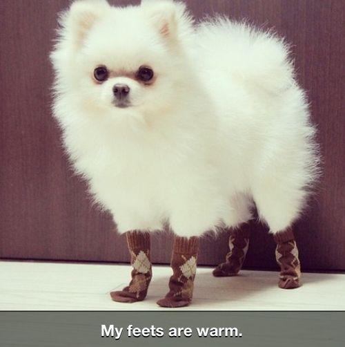 Download Pom Canine Adorable Dog - 1c9236e42909371a86a8faabb7255eb6  Graphic_714013  .jpg
